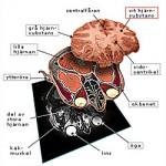 Anatomisidor